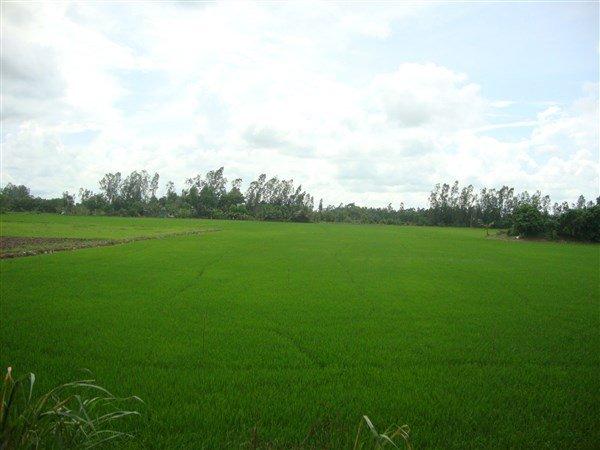 Đồng lúa tại Việt Nam